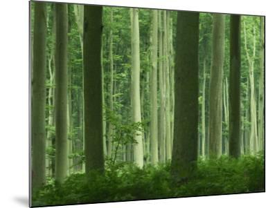 Tall Straight Trunks on Trees in Woodland in the Forest of Lyons, in Eure, Haute Normandie, France-Michael Busselle-Mounted Photographic Print