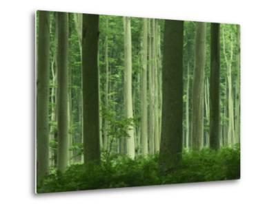 Tall Straight Trunks on Trees in Woodland in the Forest of Lyons, in Eure, Haute Normandie, France-Michael Busselle-Metal Print