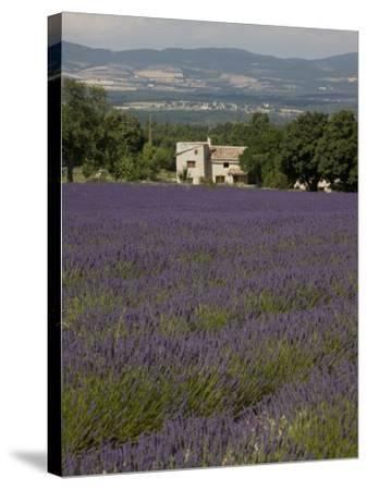 Lavender Fields, Sault En Provence, Vaucluse, Provence, France, Europe-Angelo Cavalli-Stretched Canvas Print