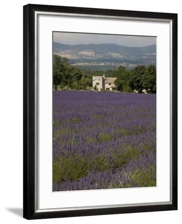 Lavender Fields, Sault En Provence, Vaucluse, Provence, France, Europe-Angelo Cavalli-Framed Photographic Print