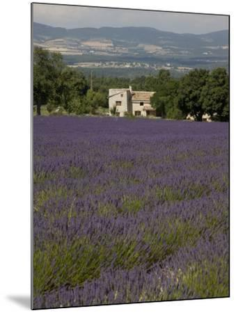 Lavender Fields, Sault En Provence, Vaucluse, Provence, France, Europe-Angelo Cavalli-Mounted Photographic Print
