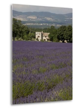 Lavender Fields, Sault En Provence, Vaucluse, Provence, France, Europe-Angelo Cavalli-Metal Print