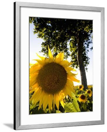 Field of Sunflowers in Full Bloom, Languedoc, France, Europe-Martin Child-Framed Photographic Print