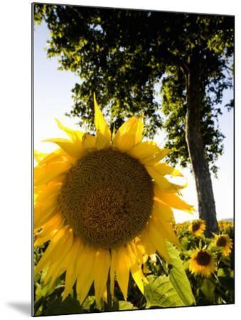 Field of Sunflowers in Full Bloom, Languedoc, France, Europe-Martin Child-Mounted Photographic Print