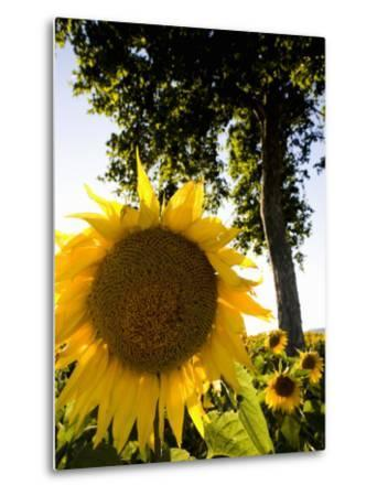 Field of Sunflowers in Full Bloom, Languedoc, France, Europe-Martin Child-Metal Print