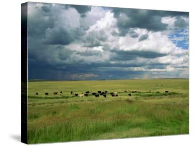 Cattle Ranching, N3 Highway, South Africa, Africa-Alain Evrard-Stretched Canvas Print