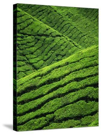 Rows of Tea Bushes at the Sungai Palas Estate in the Cameron Highlands in Perak Province, Malaysia-Robert Francis-Stretched Canvas Print