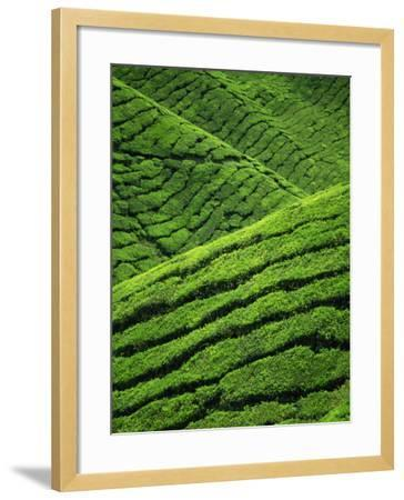 Rows of Tea Bushes at the Sungai Palas Estate in the Cameron Highlands in Perak Province, Malaysia-Robert Francis-Framed Photographic Print