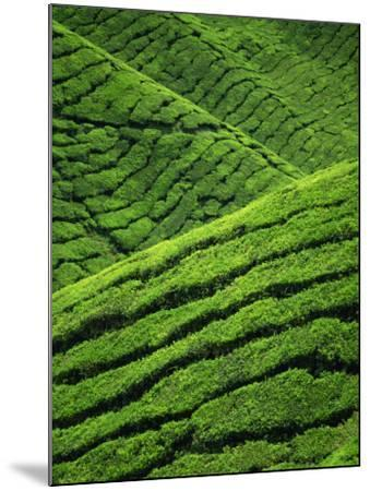 Rows of Tea Bushes at the Sungai Palas Estate in the Cameron Highlands in Perak Province, Malaysia-Robert Francis-Mounted Photographic Print