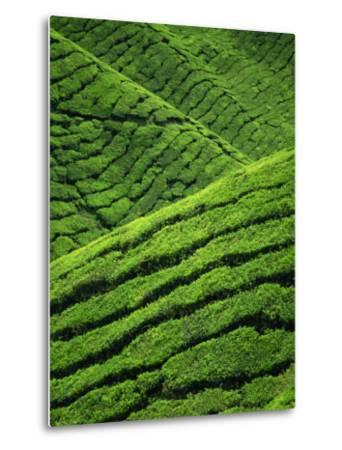 Rows of Tea Bushes at the Sungai Palas Estate in the Cameron Highlands in Perak Province, Malaysia-Robert Francis-Metal Print