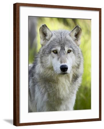 Gray Wolf, in Captivity, Sandstone, Minnesota, USA-James Hager-Framed Photographic Print