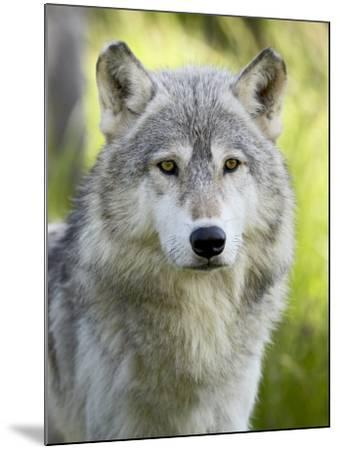 Gray Wolf, in Captivity, Sandstone, Minnesota, USA-James Hager-Mounted Photographic Print