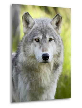 Gray Wolf, in Captivity, Sandstone, Minnesota, USA-James Hager-Metal Print