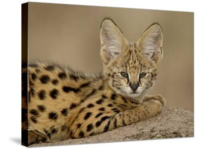 Serval Cub on Termite Mound, Masai Mara National Reserve, Kenya, East Africa, Africa-James Hager-Stretched Canvas Print