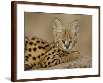 Serval Cub on Termite Mound, Masai Mara National Reserve, Kenya, East Africa, Africa-James Hager-Framed Photographic Print