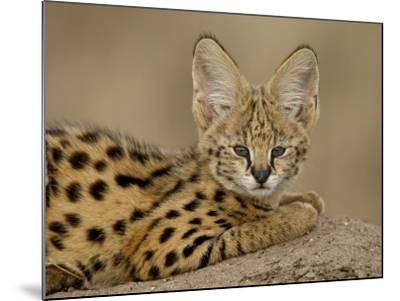 Serval Cub on Termite Mound, Masai Mara National Reserve, Kenya, East Africa, Africa-James Hager-Mounted Photographic Print