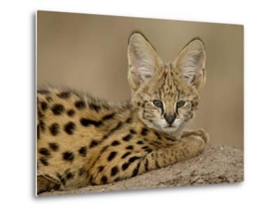 Serval Cub on Termite Mound, Masai Mara National Reserve, Kenya, East Africa, Africa-James Hager-Metal Print