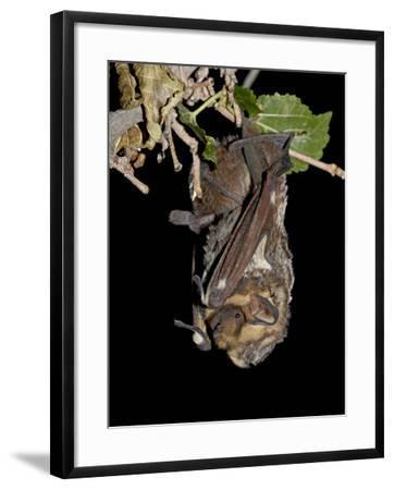 Hoary Bat Perched, Near Portal, Arizona, USA-James Hager-Framed Photographic Print
