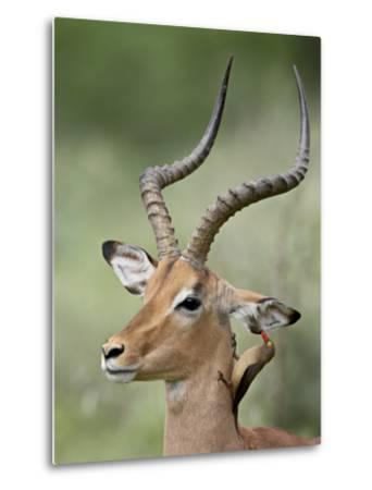 Impala with a Red-Billed Oxpecker Cleaning its Ear, Kruger National Park, South Africa-James Hager-Metal Print