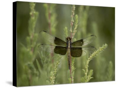 Widow Dragonfly or Widow Damselfly Perched, Boyd Lake State Park, Colorado, USA-James Hager-Stretched Canvas Print