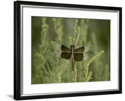 Widow Dragonfly or Widow Damselfly Perched, Boyd Lake State Park, Colorado, USA-James Hager-Framed Photographic Print