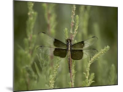Widow Dragonfly or Widow Damselfly Perched, Boyd Lake State Park, Colorado, USA-James Hager-Mounted Photographic Print