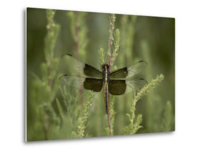 Widow Dragonfly or Widow Damselfly Perched, Boyd Lake State Park, Colorado, USA-James Hager-Metal Print