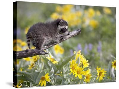 Baby Raccoon in Captivity, Animals of Montana, Bozeman, Montana, USA-James Hager-Stretched Canvas Print