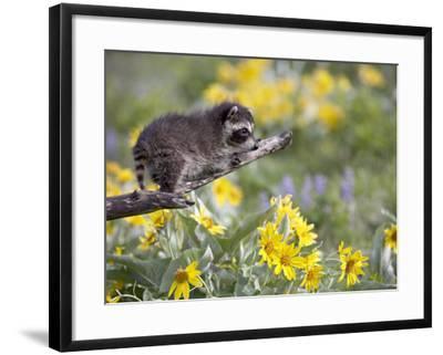 Baby Raccoon in Captivity, Animals of Montana, Bozeman, Montana, USA-James Hager-Framed Photographic Print