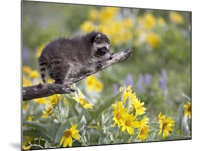 Baby Raccoon in Captivity, Animals of Montana, Bozeman, Montana, USA-James Hager-Mounted Photographic Print