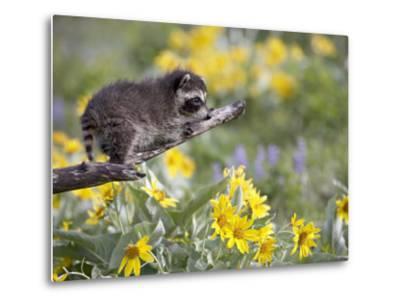 Baby Raccoon in Captivity, Animals of Montana, Bozeman, Montana, USA-James Hager-Metal Print
