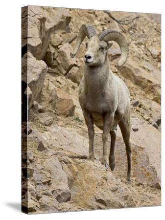 Bighorn Sheep Ram on Rocky Slope, Colorado, USA-James Hager-Stretched Canvas Print