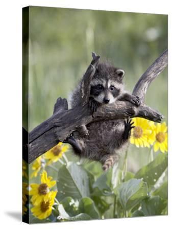 Captive Baby Raccoon, Animals of Montana, Bozeman, Montana, USA-James Hager-Stretched Canvas Print