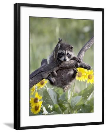 Captive Baby Raccoon, Animals of Montana, Bozeman, Montana, USA-James Hager-Framed Photographic Print