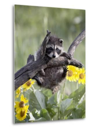 Captive Baby Raccoon, Animals of Montana, Bozeman, Montana, USA-James Hager-Metal Print