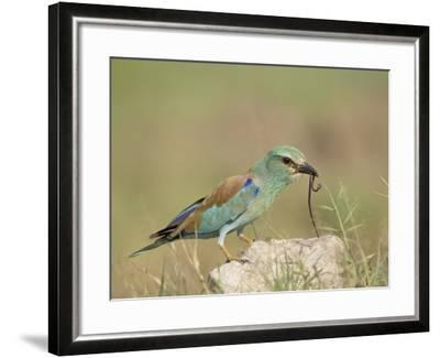 European Roller with a Worm, Serengeti National Park, Tanzania, East Africa-James Hager-Framed Photographic Print