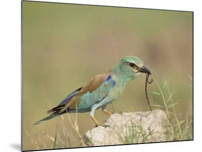 European Roller with a Worm, Serengeti National Park, Tanzania, East Africa-James Hager-Mounted Photographic Print