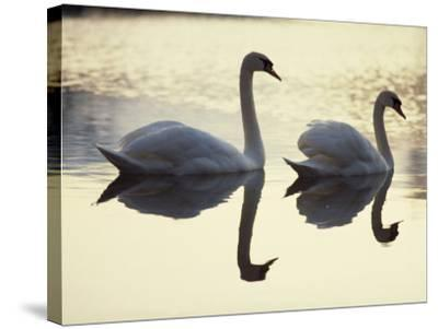 Two Swans on Water at Dusk, Dorset, England, United Kingdom, Europe-Dominic Harcourt-webster-Stretched Canvas Print
