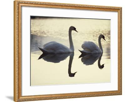 Two Swans on Water at Dusk, Dorset, England, United Kingdom, Europe-Dominic Harcourt-webster-Framed Photographic Print