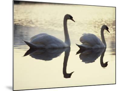 Two Swans on Water at Dusk, Dorset, England, United Kingdom, Europe-Dominic Harcourt-webster-Mounted Photographic Print
