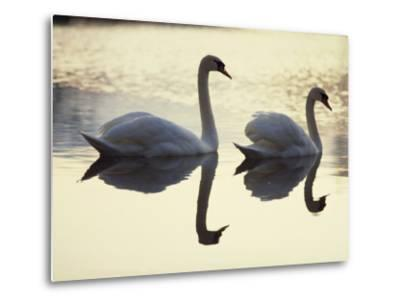 Two Swans on Water at Dusk, Dorset, England, United Kingdom, Europe-Dominic Harcourt-webster-Metal Print