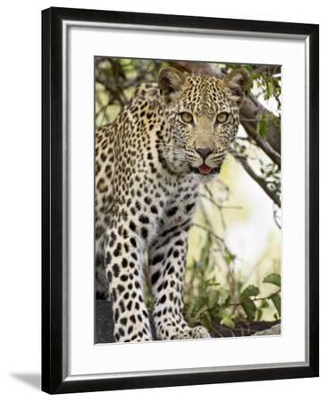 Young Leopard, Kruger National Park, South Africa, Africa-James Hager-Framed Photographic Print