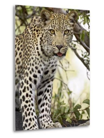 Young Leopard, Kruger National Park, South Africa, Africa-James Hager-Metal Print