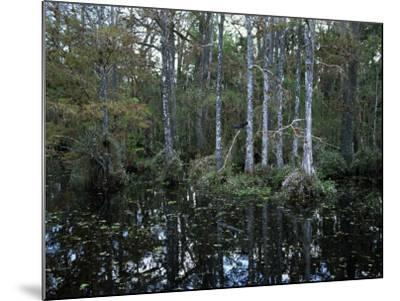 Alligators in Swamp Waters at Babcock Wilderness Ranch Near Fort Myers, Florida, USA-Fraser Hall-Mounted Photographic Print