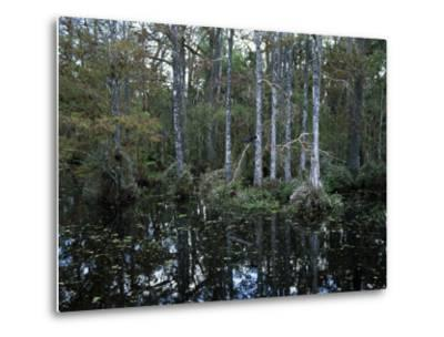 Alligators in Swamp Waters at Babcock Wilderness Ranch Near Fort Myers, Florida, USA-Fraser Hall-Metal Print