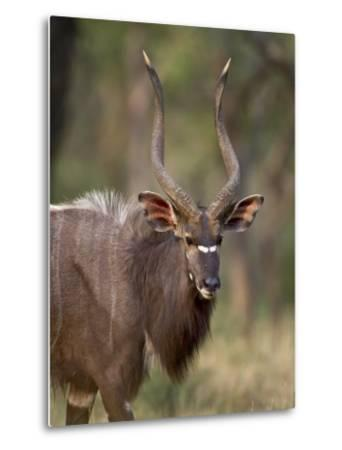 Male Nyala, Imfolozi Game Reserve, South Africa, Africa-James Hager-Metal Print