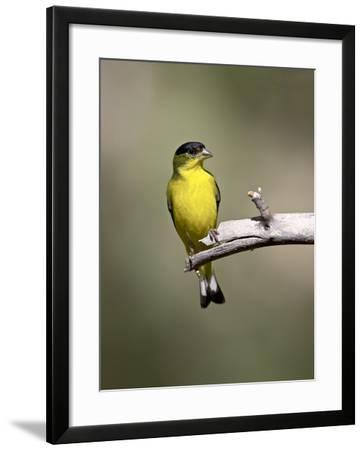 Male Lesser Goldfinch, Chiricahua National Monument, Arizona, USA-James Hager-Framed Photographic Print
