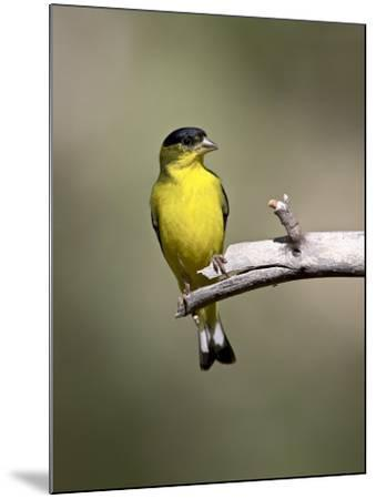 Male Lesser Goldfinch, Chiricahua National Monument, Arizona, USA-James Hager-Mounted Photographic Print