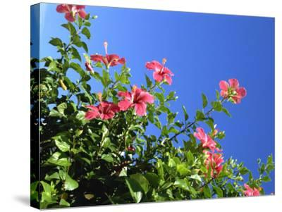 Pink Hibiscus Flowers, Bermuda, Central America-Robert Harding-Stretched Canvas Print