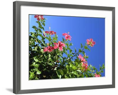 Pink Hibiscus Flowers, Bermuda, Central America-Robert Harding-Framed Photographic Print